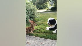 Oh deer! Dog smitten by fawn in super cute video