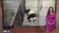 National Zoo's panda Mei Xiang showing possible signs of pregnancy