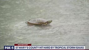 Turtle seen crossing flooded road in Maryland