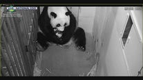 National Zoo's giant panda cub growing up fast