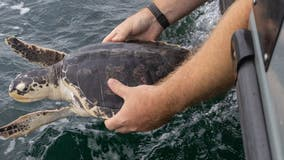 National Aquarium releases rescued sea turtles – Halloumi, Mozzarella and Stilton – back to the ocean
