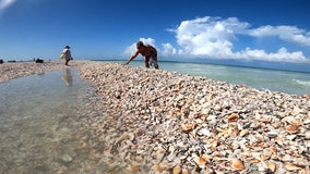 Beach renourishment project stirs rare shells onto Lido Beach