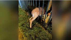 Arlington animal control officer rescues fawn trapped in fence