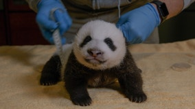 National Zoo's adorable, feisty giant panda cub is turning 8 weeks old on Friday