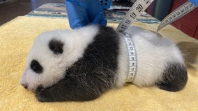 National Zoo's plump panda packing on the pounds as cub hits growth spurt