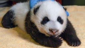 National Zoo's giant panda cub takes 'field trips' with mom Mei Xiang