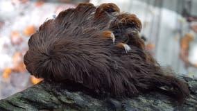 Venomous puss caterpillar sightings in Virginia trigger warning from forestry department
