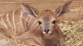 Maryland Zoo in Baltimore welcomes lesser kudu calf