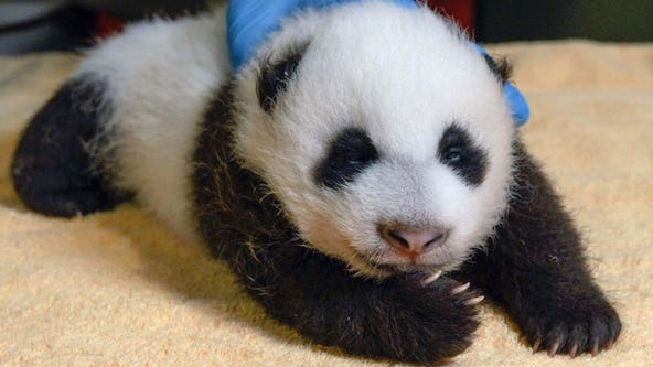 National Zoo's hosts livestream event for public to meet giant panda cub Xiao Qi Ji