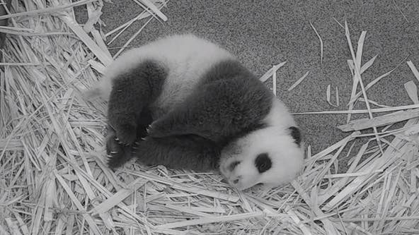 National Zoo's giant panda cub gaining weight at two months old