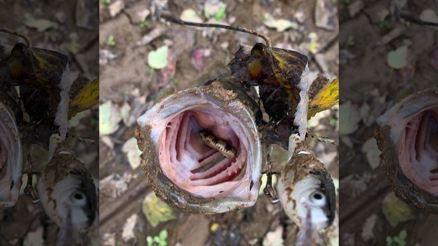 Tennessee fisherman catches bass holding snake in its mouth