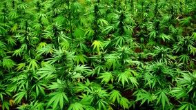 Northern Virginia's first medical marijuana dispensary opens in Manassas