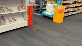 Squirrel goes on Staples shopping trip in Stafford County