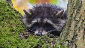 Arlington issues warning after potentially rabid raccoon bites person