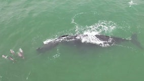 Whale spotted swimming with calf surrounded by dolphins off coast of Florida