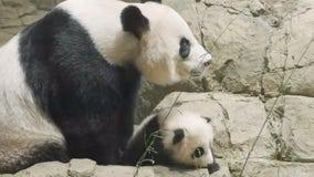 National Zoo's panda cub Xiao Qi Ji, mama bear have fun climbing rocks