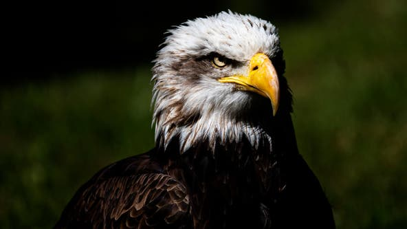 Bald eagle found shot in Maryland, police investigating