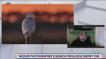 Snowy Owl Photos: Wildlife photographer captures images of snowy owl on Maryland's Assateague Island