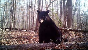 """Black bear stops by wildlife camera at Prince William Forest Park for """"photo shoot"""""""
