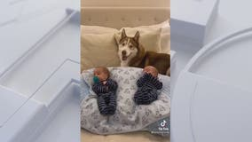 Fairfax County husky and babies go viral on TikTok