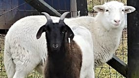 Fauquier County SPCA shares humorous post about rescue of 2 goats available for adoption
