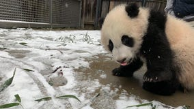PANDA'S PLAYING IN THE SNOW! National Zoo shares photo of panda cub Xiao Qi Ji's first time in the snow!
