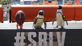 Florida Aquarium penguins take field trip to the NFL Experience