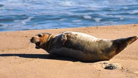 Ocean City says to keep an eye out for stranded seals on beaches
