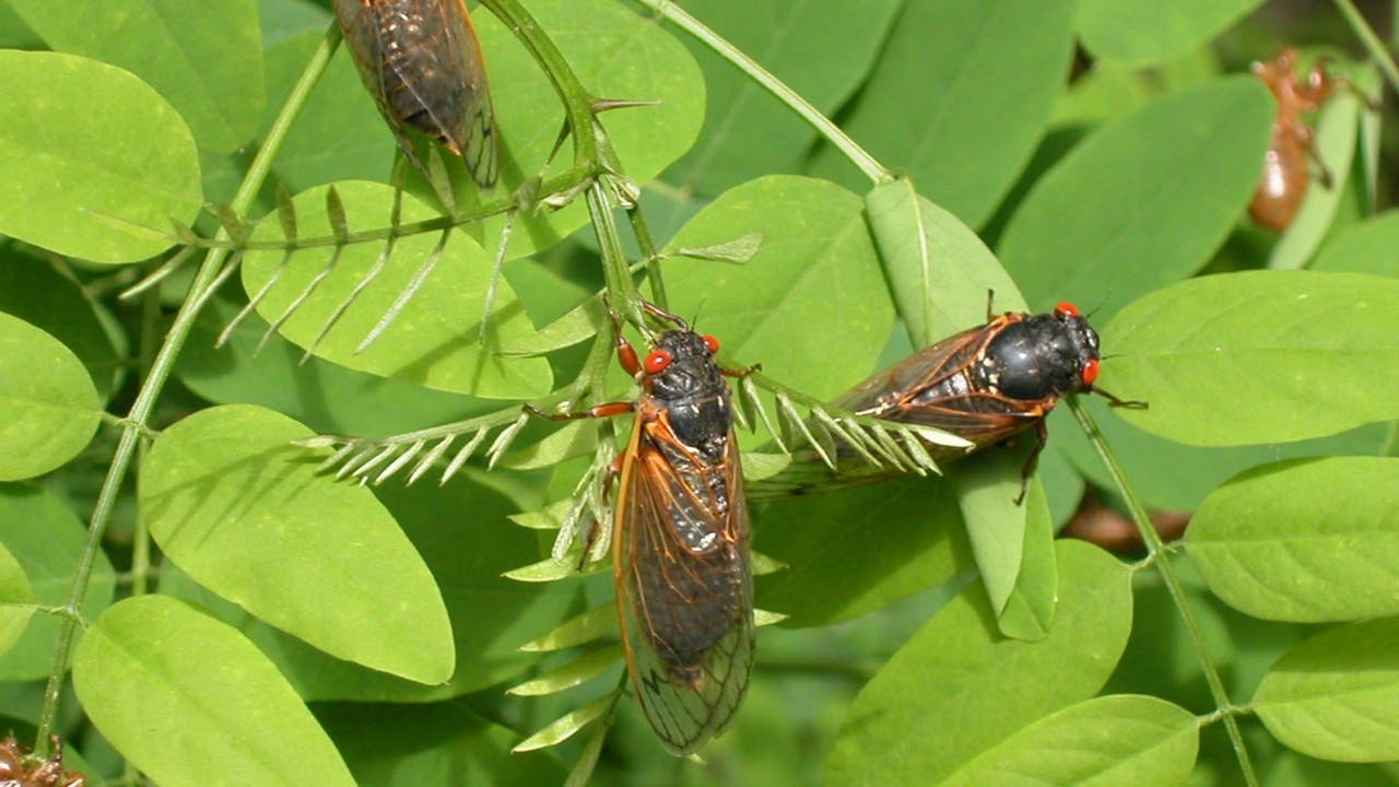 Cicadas 2021 Map: Brood X starts to emerge in DC, Maryland and Virginia