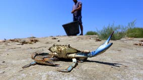 Maryland blue crab invading European shores, prompting fishermen fears