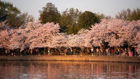 National Park Service monitoring crowds at Tidal Basin as cherry blossoms reach peak bloom