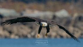 As bald eagle populations climb, Maryland's Conowingo Dam offers stunning views of national bird