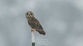 Short-eared owls make farm in Maryland's Frederick County their temporary winter home