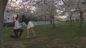 Couple gets engaged at Tidal Basin with cherry blossoms in peak bloom