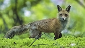 Frederick County fox that attacked person on a trail tested positive for rabies