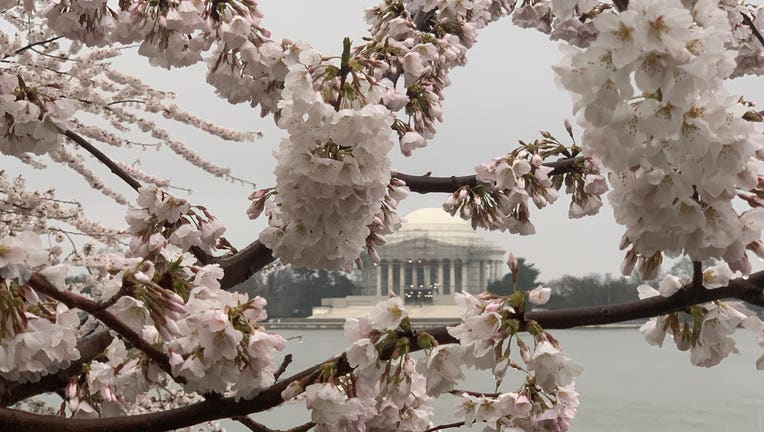 Dc Cherry Blossoms Reach Peak Bloom Early After Unseasonably Warm Weather