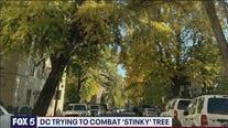 DC spraying to stem ginkgo tree stink