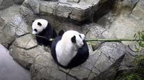 National Zoo pandas living it up in bamboo shoot season