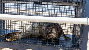 Seal returns to natural habitat after stay at National Aquarium