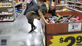 Video: Excited German shepherd jumps into store toy bin