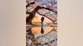 Photographer tracks down mystery wedding couple after dreamy cherry blossom pics