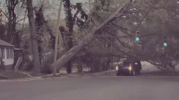 Close call: Video captures giant falling tree narrowly missing passing SUV
