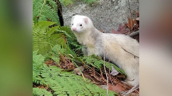 Ferret from Massachusetts spotted in Laurel, officials say