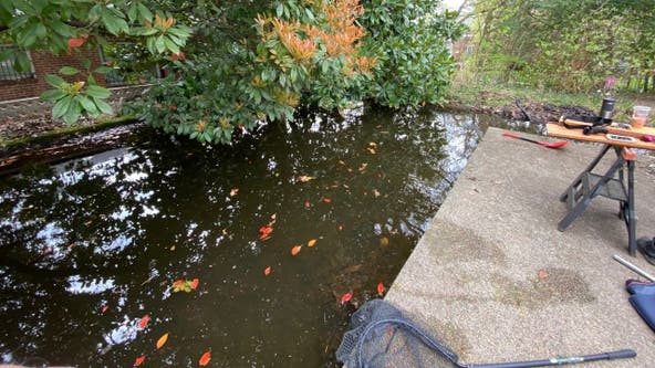 DC man discovers nearly 150 goldfish in abandoned pond