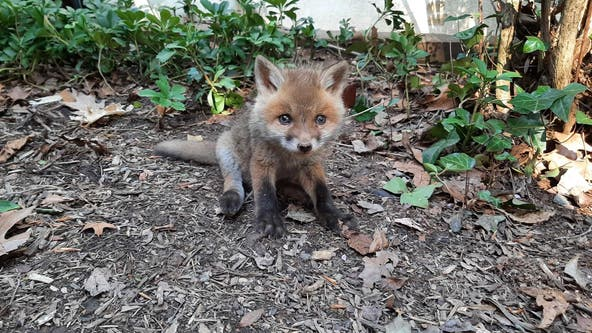 Arlington animal shelter rescues baby fox, reunites him with mother