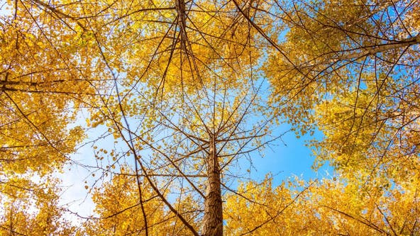 Ginkgo trees could be the reason your neighborhood smells bad