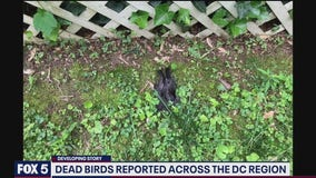 Birds are dropping dead in Arlington and DC region prompting an investigation into cause