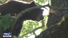 200-pound black bear spotted in a California backyard, triggering shelter-in-place