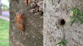 Evidence of cicadas spotted across parts of DC region as insects begin to emerge
