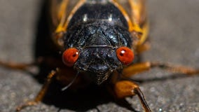 Cicada pee is the newest thing to watch out for this summer